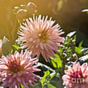 Pink Dahlia Garden Art Print
