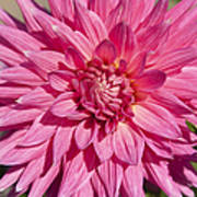 Pink Dahlia II Art Print by Peter French