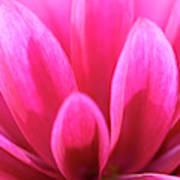 Pink Dahlia Petals Abstract Art Print