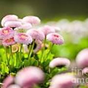 Bellis Perennis Pomponette Called Daisy Blooming  Art Print