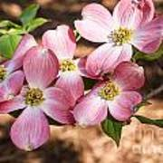 Pink Dogwood Blooms Art Print