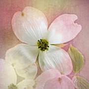 Pink Dogwood Blossoms Art Print