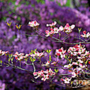 Pink Dogwood With Purple Azaleas Art Print