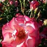Pink Flaminco Rose 2 Art Print