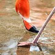 Pink Flamingo At A Zoo In Spring Art Print