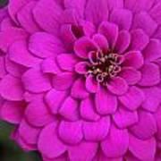 Pink Flower Blossoming Art Print