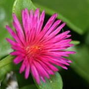 Pink Flower Of Succulent Carpet Weed  Art Print