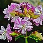 Pink Flower On Brier Island In Digby Neck-ns Art Print