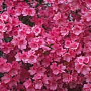 Pink Full Frame Azalea Blossoms Art Print