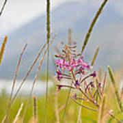 Pink Gem - Fire Weed Wildflower In Grand Teton National Park - Wyoming Art Print