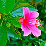 Pink Hibiscus Near Celadon Factory In Chiang Mai-thailand Art Print