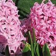 Pink Hyacinth Art Print