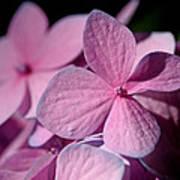 Pink Hydrangea Art Print by Rona Black