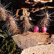 Pink Lady Cactus Art Print
