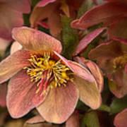 Pink Lenten Rose Art Print