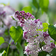 Pink Lilacs And Green Leaves - Featured 3 Art Print