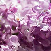 Pink Lilacs Closeup - Featured 3 Art Print