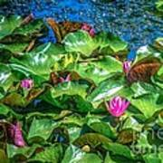 Pink Lilly Flowers And Pads Art Print