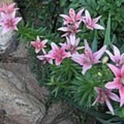 Pink Lilys Art Print