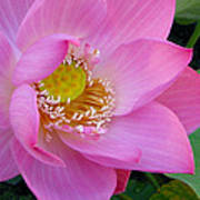 Pink Lotus Art Print by Dan A  Barker