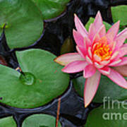 Pink Lotus Love Art Print
