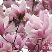 Pink Magnolia Blossoms Washington Dc Art Print