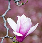 Pink Magnolia Flower Art Print