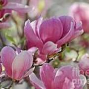 Pink Magnoloias In Bloom Art Print