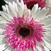 Pink N White Gerber Daisy Art Print