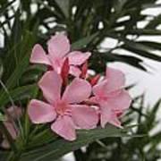 Pink Oleander 4 Art Print