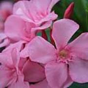 Pink Oleander 6 Art Print