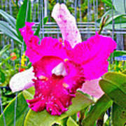 Pink Orchid At Maerim Orchid Farm In Chiang Mai-thailand Art Print