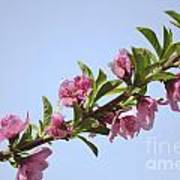 Pink Peach Blossoms Art Print