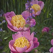Pink Peonies In My Garden Art Print