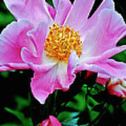 Pink Peony Garden  Art Print