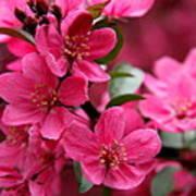 Pink Plum Blossoms Art Print