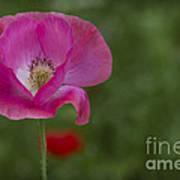 Pink Poppy. Art Print
