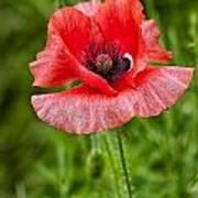 Pink Poppy Flower Among The Green Background Art Print