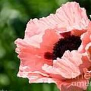 Pink Poppy Today Art Print