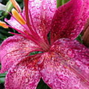 Pink Rain Speckled Lily Art Print