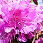 Pink Rhododendrons Art Print