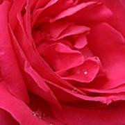 Pink Rose 03 Art Print