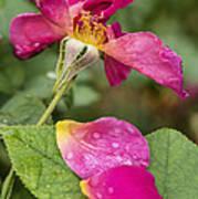 Pink Rose And Its Petals Art Print