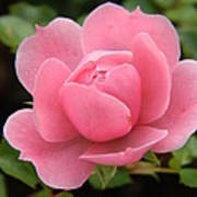 Pink Rose Bloom Art Print