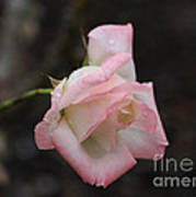 Pink Rose Bud Art Print