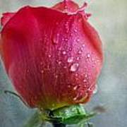 Pink Rose Bud With Drops Art Print