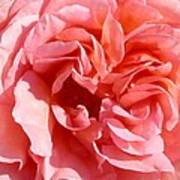 Pink Rose Closeup Art Print