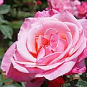 Pink Rose Flower Floral Art Prints Roses Art Print