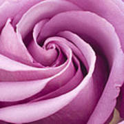 Pink Rose Folded To Perfection Art Print