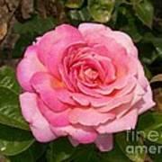 Pink Rose Full Bloom Art Print